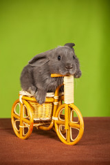 little gray rabbit  on a bicycle
