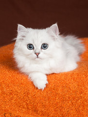 British kitten of white color