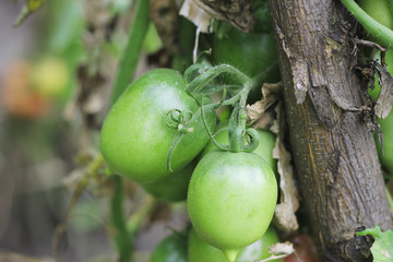 Bush of green tomato in the garden