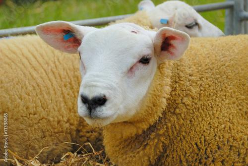 Foto op Aluminium Schapen Texel Sheep