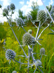 blue prickly flowers of eryngium