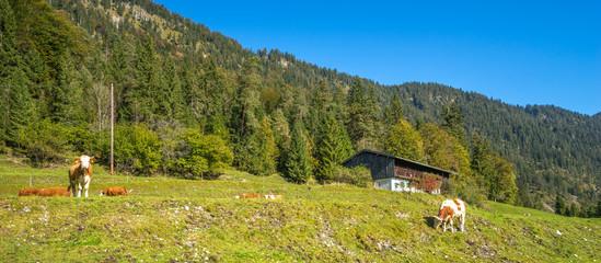 Kühe auf Bergwiese mit Alm im Hintergrund