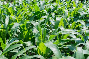a green corn field, farming field