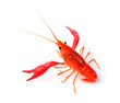 Red crawfish on white background - 71345226