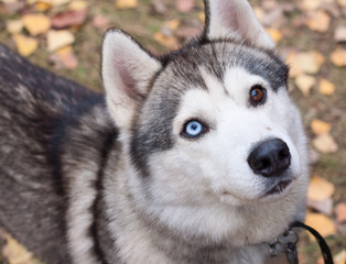 Husky close up with colored eyes