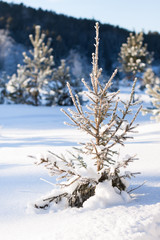 A small fir tree in winter forest