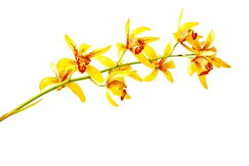 Yellow cymbidium orchid isolated on white