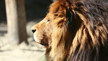 King of beasts.