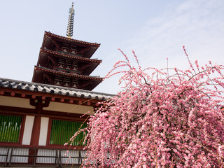 Plum tree in full bloom in a buddhist temple