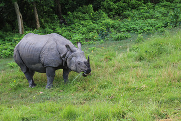 Rhinoceros in the forest park in chitwan,Nepal
