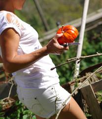 jardinage - récolte de potiron
