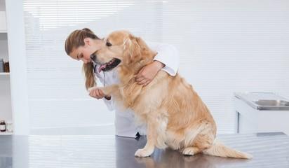 Focused vet examining a labrador