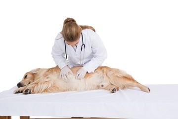 Vet checking a labradors stomach