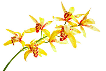 Yellow cymbidium orchid isolated on white