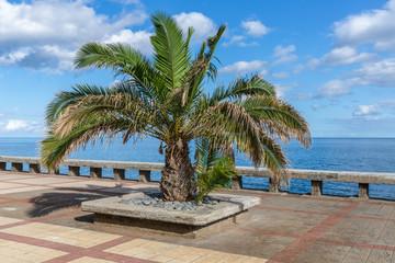 Palm tree along the coast of Madeira Island