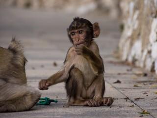 Affenbaby auf Gibraltar hat Langeweile