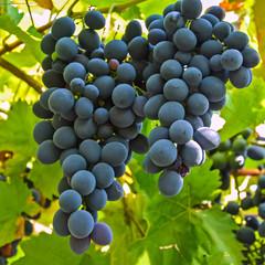 гроздь винограда 23