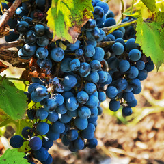 гроздь винограда 28
