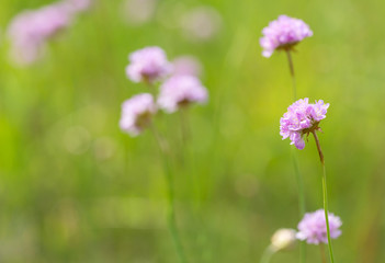 green field with light pink wild flowers