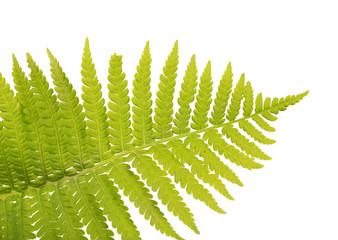 top part of light green fern frond