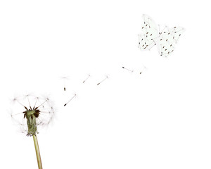 white dandelion ans butterfly from seeds