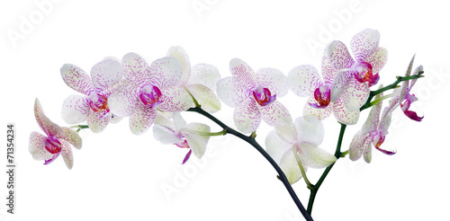 Fotobehang Lilac light color orchid flower in pink spots on white