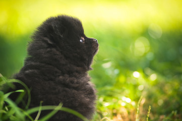 Black fluffy puppy of pomeranian spitz. Dog on green grass in su