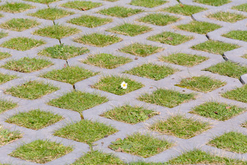 daisy flower growing in small grass square
