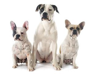 three bulldog
