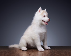 Cute little puppy of siberian husky