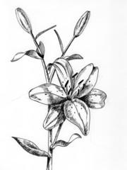 Lilium 2