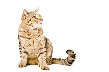 Cat Scottish Straight