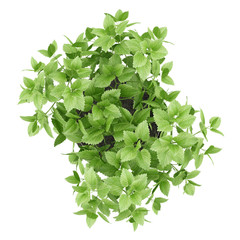 top view of balm plant in pot isolated on white background
