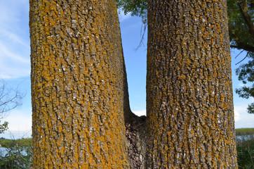 Twin poplar tree stems with orange lichen