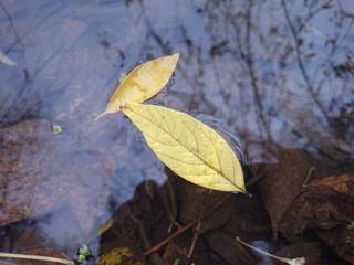 жёлтые листья на воде