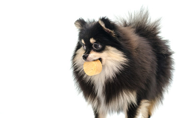 Black tan pomeranian playing on white background
