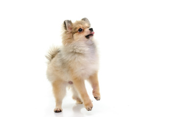 Cute puppy of pomeranian standing with two legs on white backgro