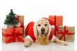 canvas print picture - Weihnachtshund
