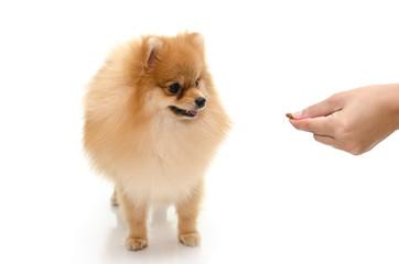 Woman hand feeding puppy on white background