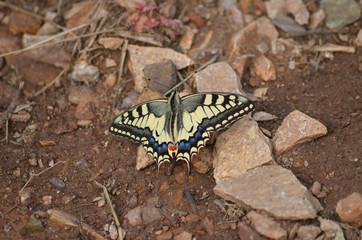 Swallowtail butterfly on rocky soil