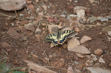 Yellow swallowtail on bare soil