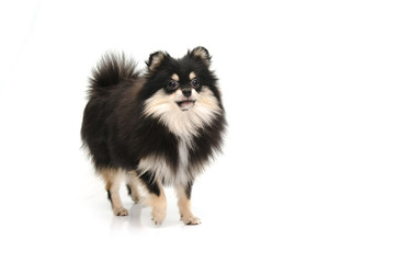 Puppy black tan pomeranian looking up on white background