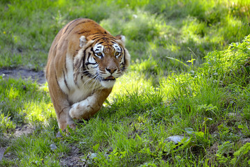 Tiger (Panthera tigris) on grass in attack position