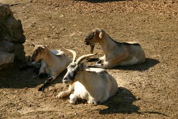Kozy w słońcu