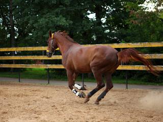 Beautiful sorrel horse gallops in corral