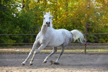 Arabian horse stallion galloping in the paddock