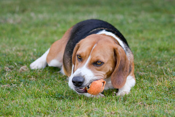 Beagle dog chewing tennis ball