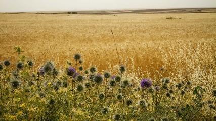 Time lapse of the wind in a wheat field in Jordan