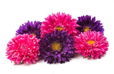 beautiful chrysanthemum isolated