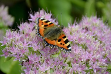 Small tortoiseshell butterfly and flower